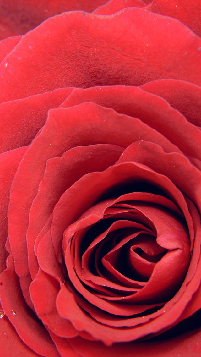 rose-red-flower-nature-love-iphone-5