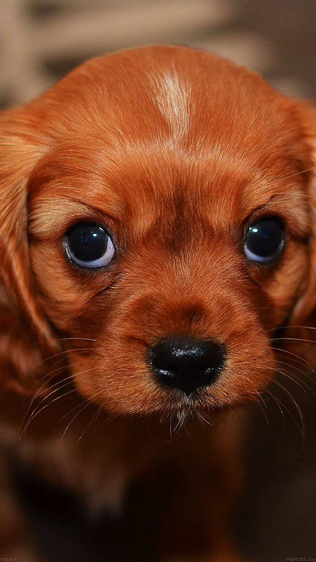 puppy-wallpaper-iphone-5